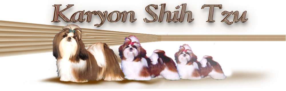 Karyon Shih Tzu Puppies For Sale Champion Breeder Texas